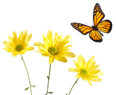 Monarch Flying over Yellow Daisies. Studio shot. Critical focus on centers of flowers and across entire butterfly.