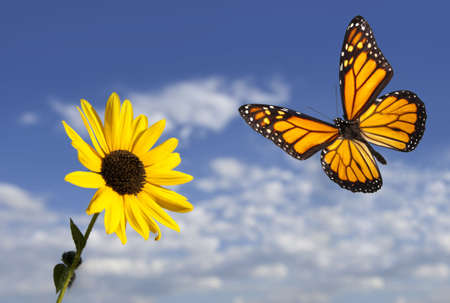 Monarch Butterfly against Blue Sky and Small Sunflower. Focus on sunflower and butterfly.