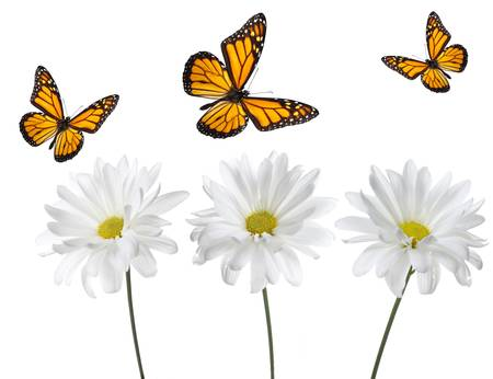 Monarch Butterflies and White Daisies. Studio lit and perfectly isolated
