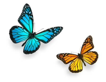 鮮やかな青と鮮やかなオレンジ色の様々 な飛行位置にモナーク蝶。白、スタジオ ショットで隔離されます。