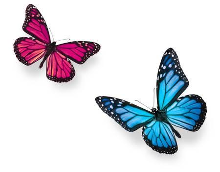 鮮やかな青と鮮やかなピンク色の位置を飛行モナーク蝶。白、スタジオ ショットで隔離されます。