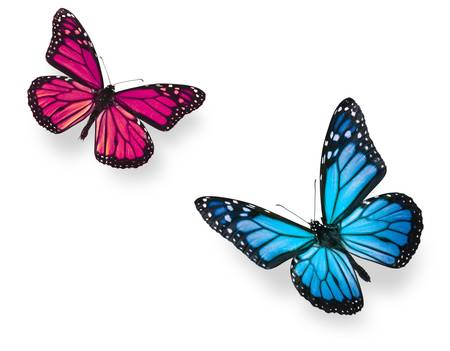 Monarch butterfly in flying positions in bright blue and vivid pink. Isolated on white, studio shot. photo