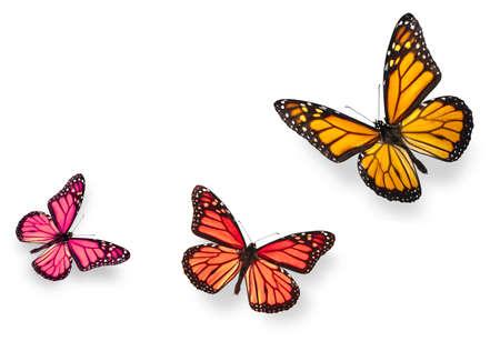 mariposas amarillas: Mariposa monarca en varias posiciones de vuelos en naranja brillante de rojo y v�vida de rosa. Aislados en blanco, estudio de disparo.