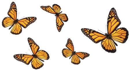 mariposas volando: Mariposa monarca en varias posiciones de vuelos. Aislados en blanco, estudio de disparo.