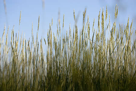 Wild wheat grasses against blue sky Archivio Fotografico