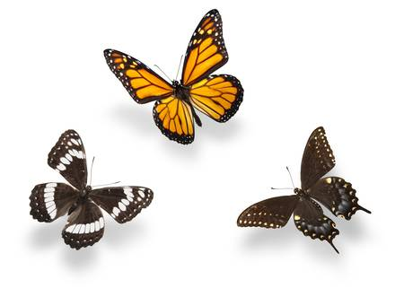 Three butterflies isolated with soft shadows. Studio shot.