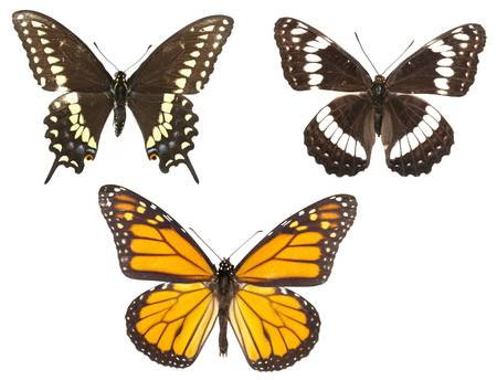 Three butterflie types isolated on white background. Each with wing in ciritical focus.