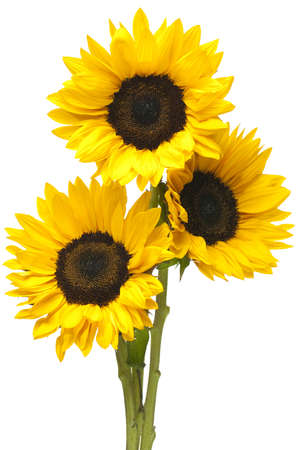 sunflower isolated: Three sunflowers in tight bundle isolated on white