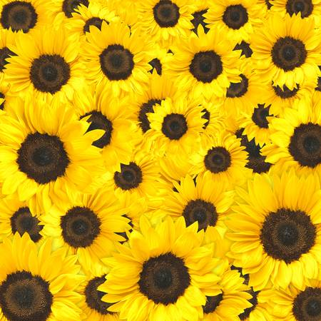 Sunflower Background. Archivio Fotografico