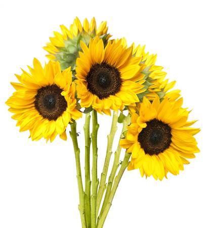 Bundled bouquet of fresh sunflowers isolated on white background. photo