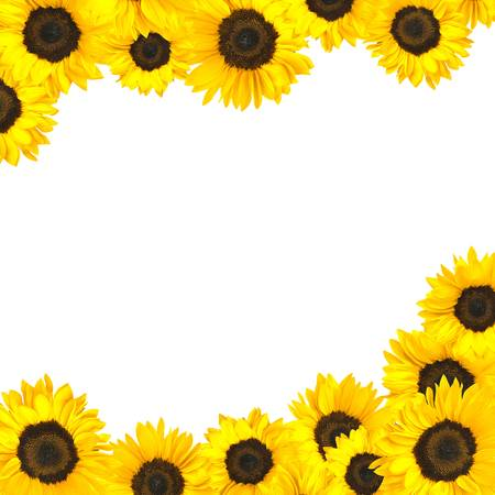 Sunflower blooms isolated on white background. Focus at center of each flower. Archivio Fotografico