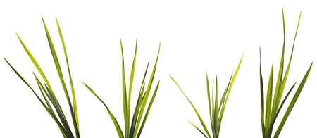 緑の草の刃は、白い背景で隔離。各バンドルのブレードの選択と集中。