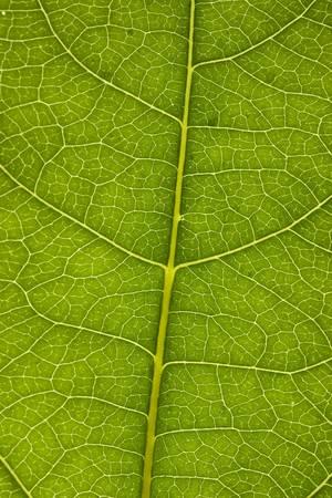 葉は、テクスチャを閉じます。主な静脈とフィールドの浅い深さをクリアします。