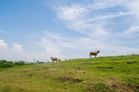 bali province: Calmness and peace in the photo: blue sky, green grase and peacful cows