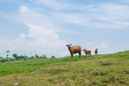 bali province: Rural views: cows on the hill