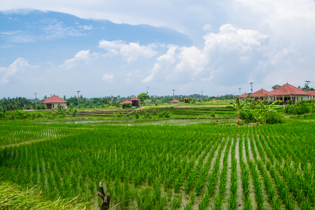 bali province: Beautiful place for ideal relax: rise fields and bungalow