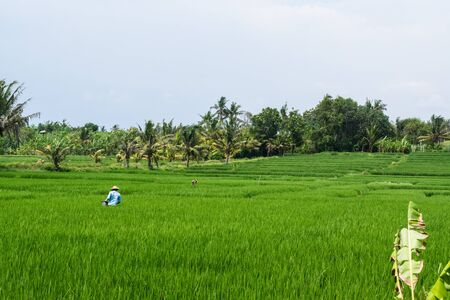 bali province: Eastern farmers on the rice fields in the middle of work