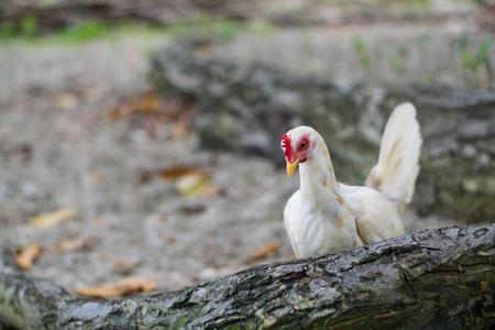 struts: White chicken walking around Stock Photo