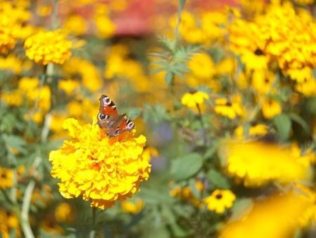 Inachis io & marigolds photo