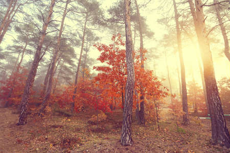 Misty autumn morning in a colorful forest photo