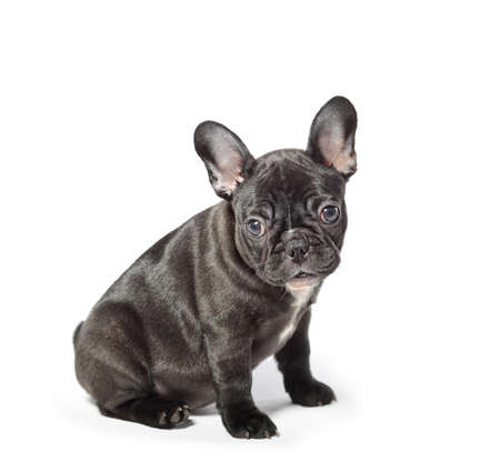 Young french bulldog on a white background