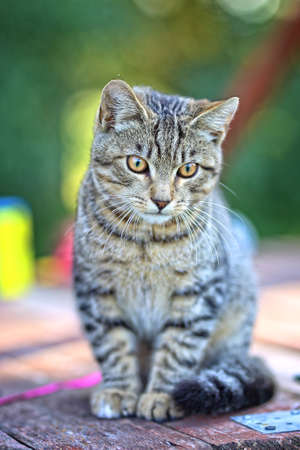 beautiful gray cat portrait Stok Fotoğraf