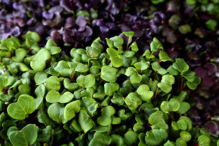 delicious and healthy natural micro greens sprouts