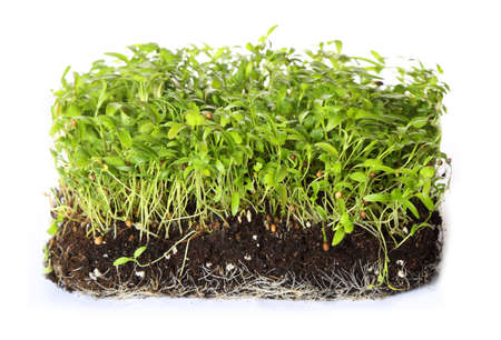 green coriander sprouts over white background
