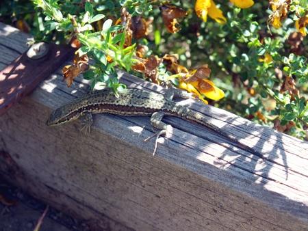 Lizard on a wooden beam photo