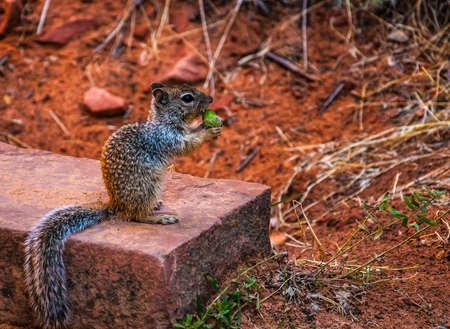 Squirrel   Nut 版權商用圖片