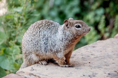 Eekhoorn in Zion National Park