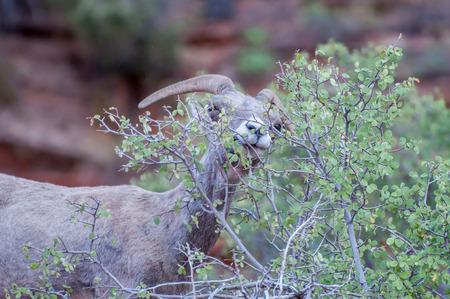 Bighorn Sheep at Zion National Park photo