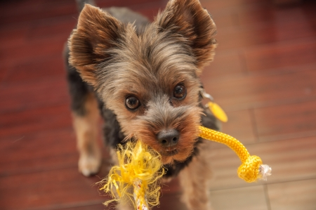 Yorkshire Terrier Playing photo