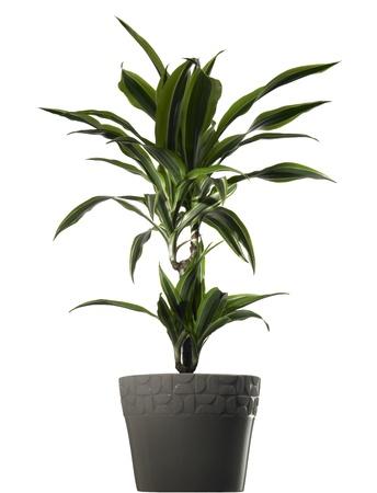 plant dracena