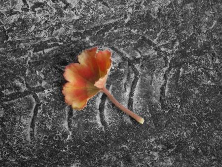 contrast between delicate red leaf on asphalt with wheel track