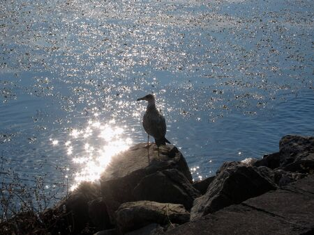 reverb: Seagull by the sea with sun glare on the water Stock Photo