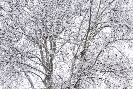 fronds of snow covered trees on a white background to create branches texture