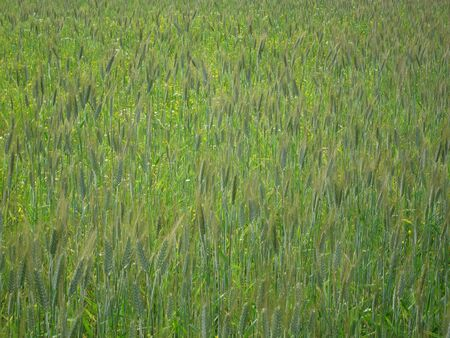 Field campaign consists of grass and green ears of corn