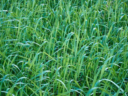 field of grass that make a green texture