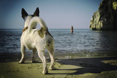 犬のジャック ラッセル君ビーチ、イタリアで彼の所有者 写真素材