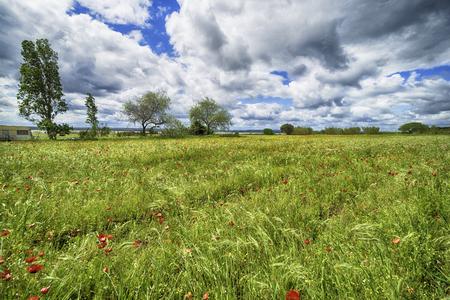 木と青い空と美しいケシ畑