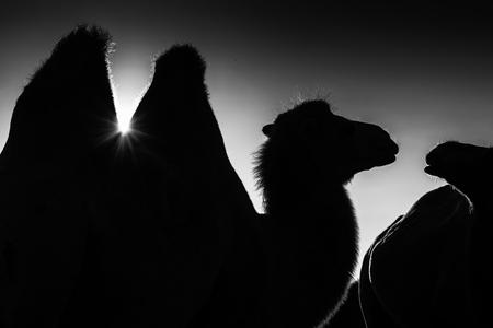 旅行の概念の砂漠でラクダの黒と白のシルエット 写真素材