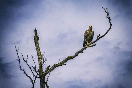 青い空の下の枝の美しいホーク 写真素材