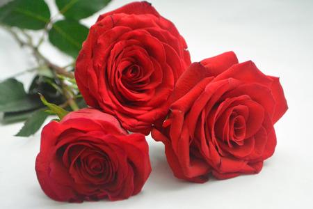 Cerca de tres rosas rojas aisladas sobre fondo blanco.