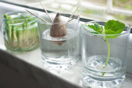 Growing green onions scallions from scraps by propagating in water in a jar on a window sill, basil rooting in water and avocado growing from seed with toothpicks for support Banco de Imagens