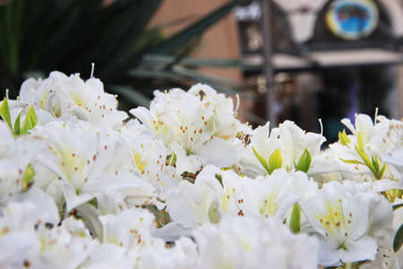 Photo of White rhododendron blooms in spring