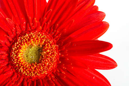 Red beautiful gerbera flower isolated over white photo
