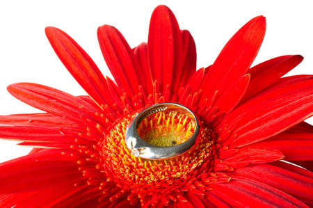 Red gerbera with the silver ring isolated photo