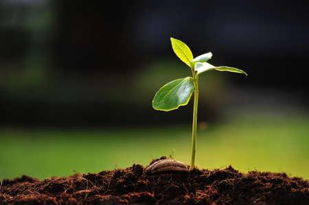 planta con raiz: Brote verde que crece de la semilla