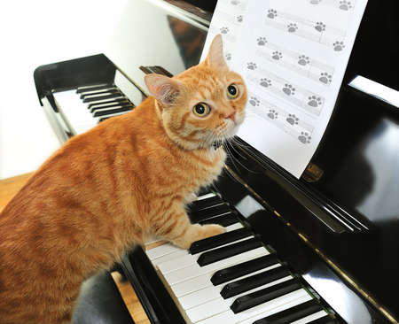 A yellow cute cat playing the piano photo